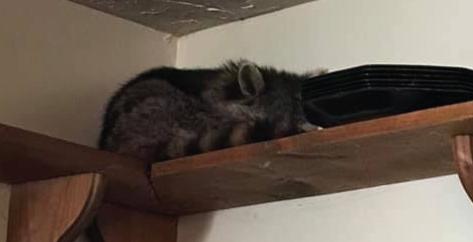 Racoon sleeping on a shelf inside a kitchen